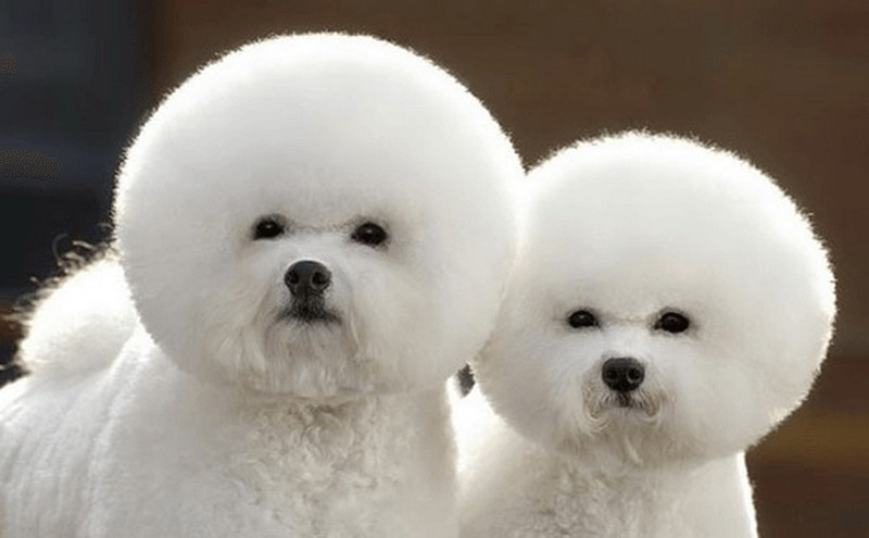 I hereby name you Cottonball and Snowball.