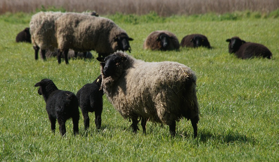 Les faits se sont déroulés dans la nuit de dimanche à lundi sur le boulevard Soult non loin du périphérique, quatre individus interpellés pour avoir volé 6 moutons dans l'intention de les manger.