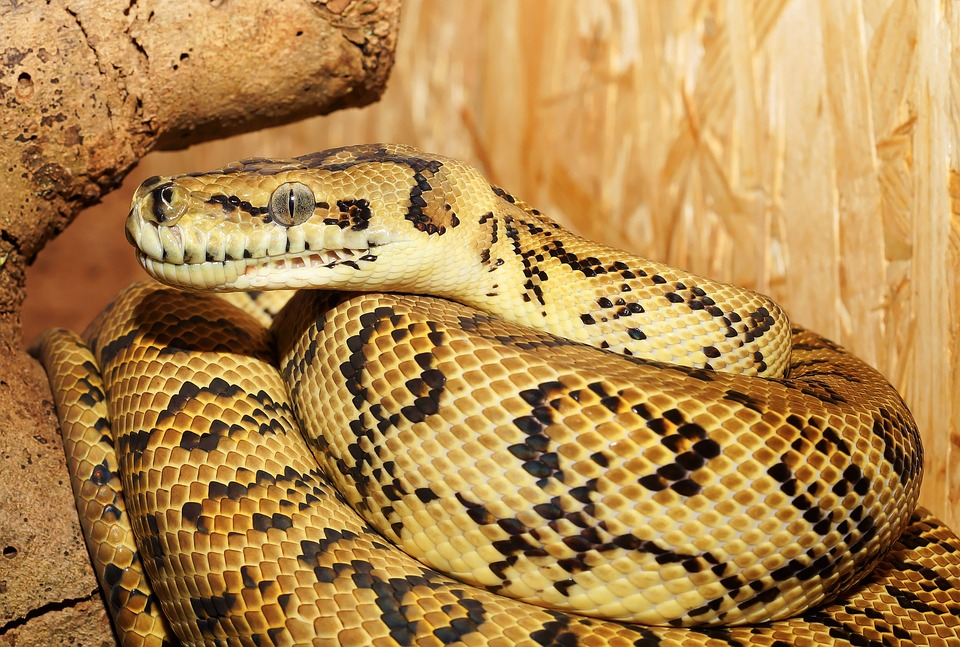 Une Américaine retrouvée morte avec un python enroulé autour du cou