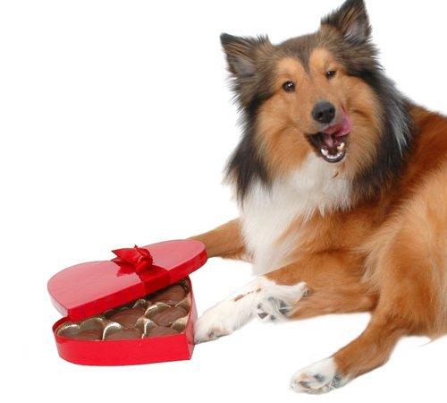 le chocolat, dangereux pour les animaux