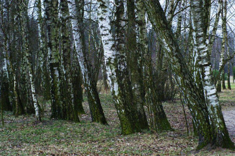 Las iczas. #1 Brzozy moje, brzozy…
