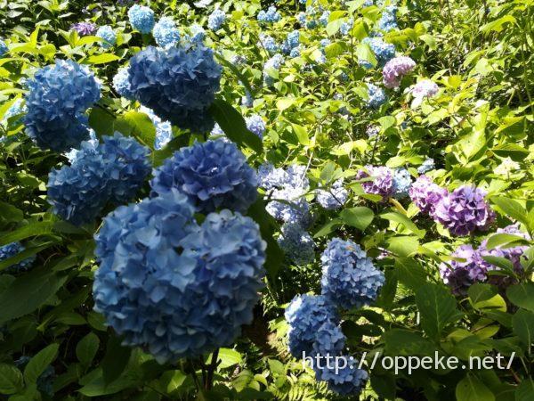 神戸森林植物園,あじさい,見ごろ