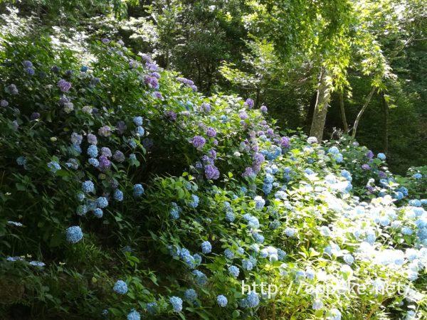 神戸森林植物園,あじさい