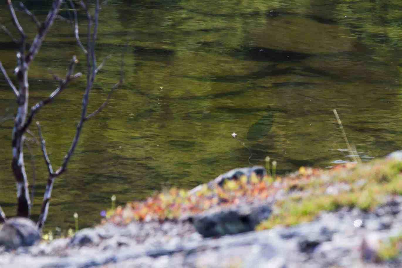 Stor ørret kikker på flua i stille Finnmarks-vann. // Foto: Joakim Andreassen