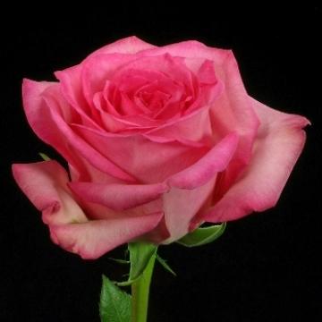 Роза Свит Лайф Фото