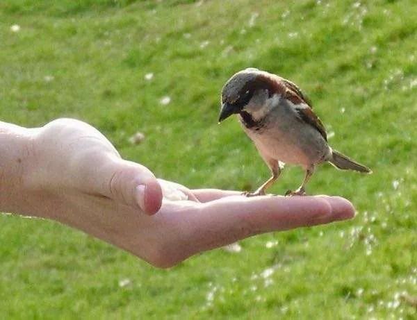 Feeding a sparrow