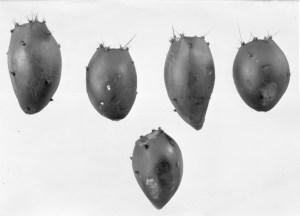Opuntia phaeacantha 7367