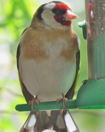 good goldfinch