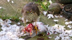Sparrowhawk with Collared Dove prey, Orchard Park garden