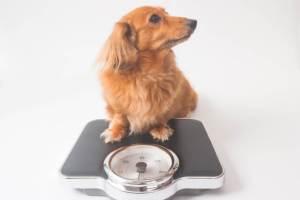 犬 はちみつ 与える 大丈夫 中毒 与える量 マヌカハニー メープルシロップ