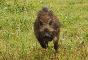 犬 猪 イノシシ 猪肉 犬用 栄養 与え方 生