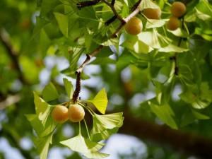 犬 銀杏 イチョウ茶葉 中毒 与える 食べる