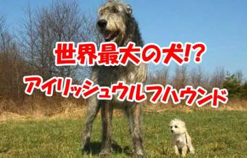 アイルランド 犬 アイリッシュウルフハウンド