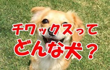 犬 チワックス チワワ ダックス ミックス