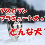 アスカランマラミュート犬