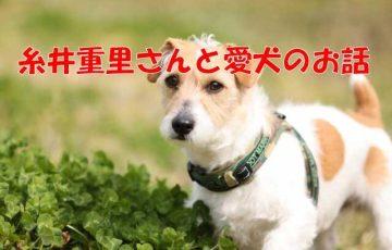 糸井重里 犬 ブイヨン ブイコ ジャックラッセルテリア
