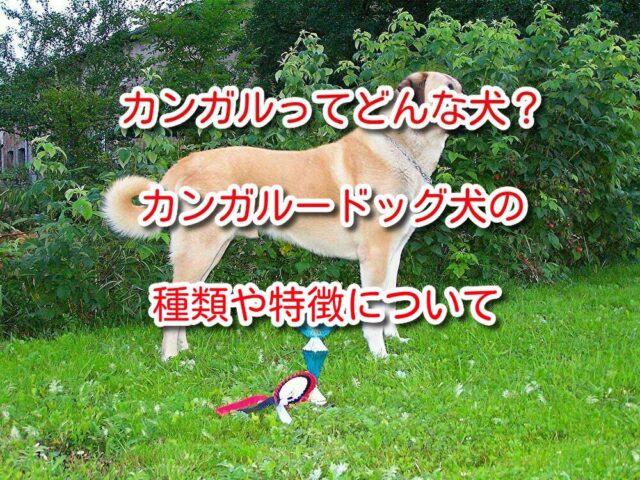 カンガル 犬