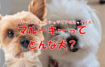 犬 マルーキー マルチーズ ヨークシャテリア