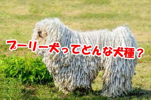 プーリー犬ってどんな犬種?