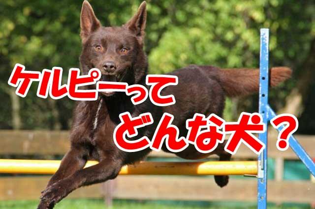 ケルピー 犬