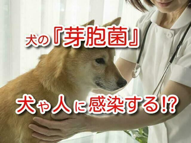 芽胞菌 犬