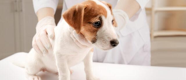 犬 パルボ