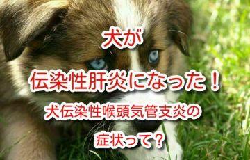 犬 伝染性 肝炎
