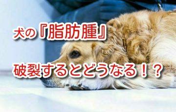 犬 脂肪 腫 破裂