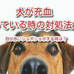 犬 充血 目が赤い