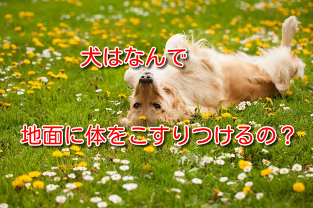 犬はなんで地面に体をこすりつけるの?
