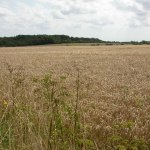 Gussage_Hill,_corn_field_-_geograph.org.uk_-_1433836