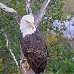 in_nest_cam_eagle