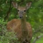 deer_970