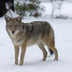 1200-94017019-central-american-coyote-in-snow