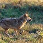 coyote-3