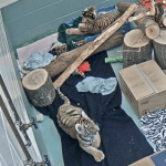 Beardsley Zoo: Have You (and Your Children) Visited The Tiger Cam Yet?