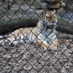 Zoo News: Tiger Habitat Expansion On The Horizon With Your Help