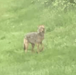 Another Coyote Sighting