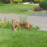 Bobcat Sightings Around Town