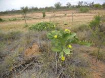 yellow flowering cactus