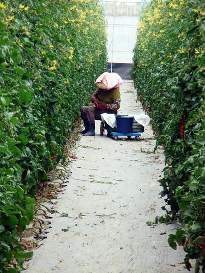 十三番玉女番茄