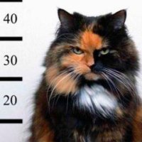 Kaķi arestēja par ēdiena zagšanu no kaimiņu kaķa