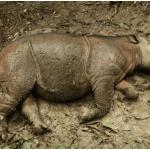 Akibat pemburuan haram, Badak Sumbu Sumatera kini tiada lagi di hutan Sabah