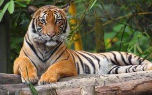 Malaysia Tiger Harimau Wikipedia