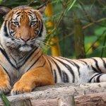 Jumlah Harimau Malaya makin merosot, orang tempatan bantu pemburu haram
