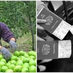 Petik buah di Australia untuk gaji lumayan? Ini yang ramai tak tahu…