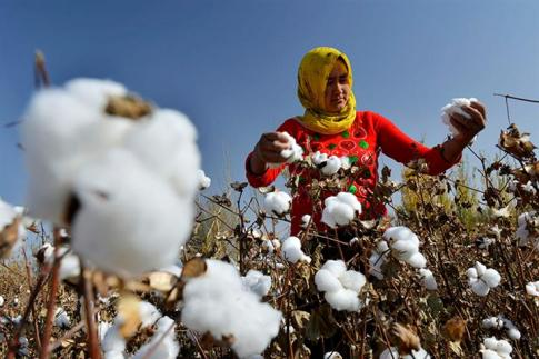 cotton uyghur