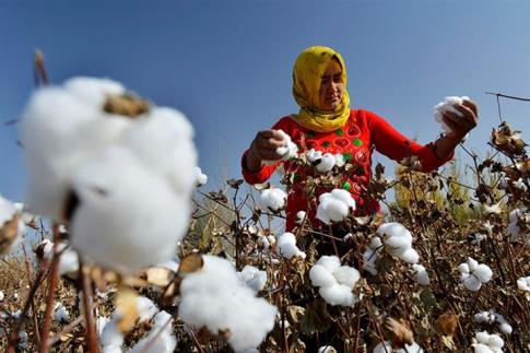 cotton uyghur