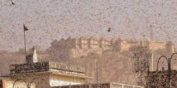 Locust attack on India in middle of Covid19 Pandemic