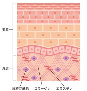 肌の断面図